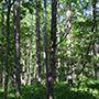 自然音 - 岐阜 / 瑞浪 - 蝉の声02 (バイノーラル録音) d_172391のパッケージ画像